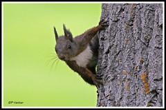 Ecureuil 170418-07-P (paul.vetter) Tags: écureuil sciuridé rongeur mammifère squirrel ardilla eichhörnchen