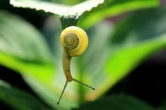 S_JPGE_1078_1 (Pablo Alvarez Corredera) Tags: molusco caracol amarillo negro rayado hoja baboso babosito langreo barros asturias antenas concha coraza transparente desenfoque naturaleza primavera hojas