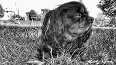 #cavalierking #mydog (Marty_Semmy) Tags: cavalierking mydog