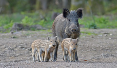 Wild Boar, Forest of Dean (KHR Images) Tags: wildboar susscrofa wild mammal mother piglets humbugs forestofdean gloucestershire wildlife nature nikon d500 kevinrobson khrimages