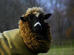 Sherman Was Not Like The Other Sheep... (Diana Kae) Tags: sheep rural sheetcoat coat missouri kansascity farmanimal farm farmlife interesting wool dianakae dianawhite dianaobryan