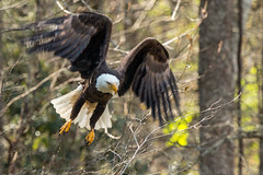 Bald Eagle-1 (Mr. Low Notes) Tags: 70d bird eagle baldeagle trees baldriver tn woods wildlife outdoors