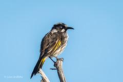New Holland Honeyeater D50_6739.jpg (Mobile Lynn) Tags: birds wild newhollandhoneyeater honeyeater nature bird fauna phylidonyrisnovaehollandiae wildlife robe southaustralia australia au coth specanimal sunrays5