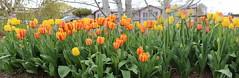 Tulip pano (jlcummins - Washington State) Tags: tulips yakimacounty washingtonstate blossoms flowers flowergarden flora panorama