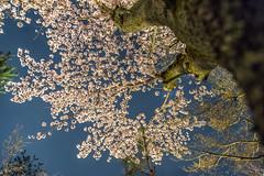 Blue hour Sakura (Jun deCix) Tags: cherry blossoms sakura flowers hanami trees spring photography kodaiji zen temple kyoto japan 夜桜