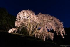 枝垂れ桜 (Keiichi.O) Tags: nikon d800 ニコン 一眼レフ japan landscape nature 風景 東京カメラ部 神奈川カメラ部 ファインダー越しの私の世界 カメラ好きな人と繋がりたい 写真好きな人と繋がりたい loversnippon lovesnippon 1x flickr 500px tokyocameraclub