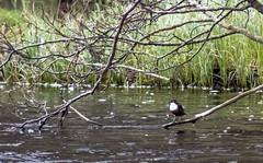 Dipper (Barry Folan) Tags: birds birding birdwatching dipper spey speyside river highlands scotland naturephotography pentaxart pentaxk1 wildlife wild nature