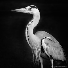 Handsome Heron (roseysnapper) Tags: nik software olympus mzuiko ed 40150mm 14056 omd em10ii silver efex pro 20 st james park heron lightroom london monochrome bird blackandwhite bw