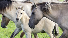 Oostvaardersplassen (Hans van der Boom) Tags: nederland netherlands ijsselmeerpolders flevopolder oostvaarderplassen animal horses wild herd konik horse young filly lelystad nl perpetualwinner