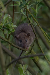 rat up a tree (colin 1957) Tags: rat animal