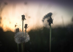 Sweet Dreams are made of this (ursulamller900) Tags: trioplan2950 sunset dandelion löwenzahn bokeh