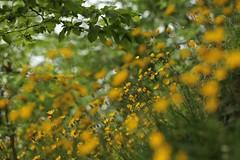E sia! (SimonaPolp) Tags: flowers yellow fiori giallo field wildflower wildflowers nature april aprile spring springtime primvera rural bianchi yeah bokeh canon leaves foglie green verde wood forest bosco