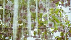 Frank Gehry in full bloom - Medienhafen Düsseldorf (Manuela Hebgen) Tags: düsseldorf gehrybauten medienhafen doppelblichtung fullbloom blossoms doubleexposure silver spring 7dayswithflickr 7dwf architektur frankgehry gehrybuilding