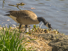 """Canada Goose Feeding on Plant Life At Central Park Lake (nrhodesphotos(the_eye_of_the_moment)) Tags: dsc010373001024 """"theeyeofthemoment21gmailcom"""" """"wwwflickrcomphotostheeyeofthemoment"""" spring2017 season centralpark lake waterfront plantlife canadagoose bird animal animallife grass rock outdoors"""