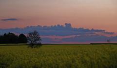 (~Laurence~) Tags: coucherdesoleil iledefrance france valdoise paysage landscape arbre champ culture colza fleurs jaune canon 70d
