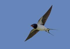 Barn Swallow (AdaMoorePhotography) Tags: 200500mm nikon nature natural wild wildlife bird spring blue red d7200 sky flying flight barnswallow barn