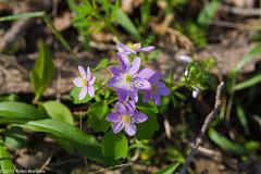 RUe Anemone (Arlen Breiholz) Tags: usa springwildflowers plants linncounty eos7d iowa wildflowers cameras places faulkeswoods