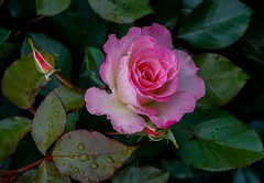 (ОльгаГвоздева) Tags: nature flowers flower roses rose pink freshness colour color beautiful