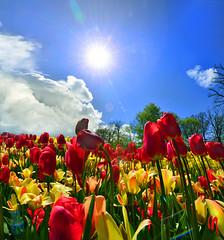 Phot.Lisse.Keukenhof.Tulips.Abundance.01.041623.7808.jpg (frankartculinary) Tags: nikon d800 d300 d200 f2 f3 f4 coolpix frankartculinaryyahoode netherlands nederland holland niederlande paísesbajos paysbas paesibassi keukenhof park rotterdam denhaag alkmaar scheveningen lisse beatrixkwartier dutch käse cheese fromage formaggio queso flowers blumen fleur flores tulpen tulipes tulipanes tulipani parade desfile parata square places place plaza plätze strasen rue calle strada streets markt market mercato marché mercado binnenhof blaaktower cubehouses alpaca narcissuse waffle