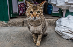 IMG_0754 (troyhulm) Tags: cat kitten street kitty nepal
