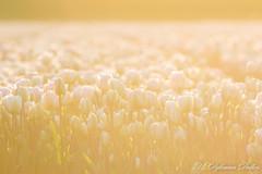 MDD_9195 (Martin Dijkman Dulkes) Tags: 2017 anna paulowna bloemen bloemendagen breezand flowers groot holland large nederland netherlands plants sunny tulipfields tulips tulpen tulpenvelden zon