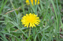 Small sun (Alessier) Tags: nikon d5100 spring flowers green nature