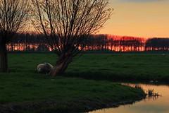 When the sun sets (M a u r i c e) Tags: spring sunset netherlands landscape nature sheep grassland water polder dusk orange trees