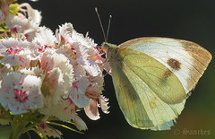 The Indian Cabbage white butterfly (savio.sanches) Tags: pieris canidia indian cabbage white indica butterfly wings backliht bokeh flowers garden antennae yellow pink nature outdoors fragile insect butterflies transparent wildlife wing flight plant flora