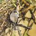 Dusky-brown Flycatcher (Muscicapa adusta)