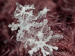 Collected Flakes (March 15th 2017, #10) (Doundounba) Tags: pentax k3 sigma2470mmf3556 pentaxm135mmf35 coupledreversedlens macro extrememacro focusstack snowflake flake snow neige flocon ice glace winter hiver cold froid montréal québec crystal eau water