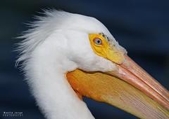 Take a shot, take a shot! (noellejorge) Tags: breeding wild avian bird waterfowl closeup portrait americanwhitepelican pelican