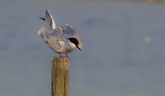 Common Tern, (Sterna hirundo) (The Rustic Frog) Tags: sterna hirundo common tern bird wild migant summer four sea water post warwickshire wildlife trust brandon marsh reserve uk england midland central fluffing up canon eos digital camera 7d mark ii lens 100400mm feathers