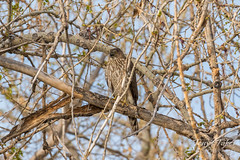 Young Cooper's Hawk makes some noise