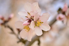 (wickedhair) Tags: wickedhair wendielou d7000 california color petals pink bloom blossom nikon nature macro landscape landscapes trees tree