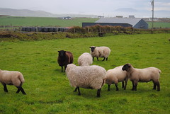 Malin Head (Ana _Rey) Tags: ireland sheep malinhead ovejas