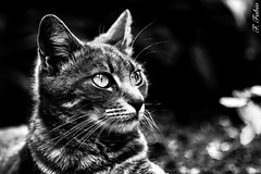 (FFabio81) Tags: bw cats white black cat canon eos reflex 5d sprint mkii