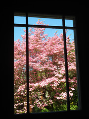 Framed Pink (Sotosoroto) Tags: window washington dogwood bothell