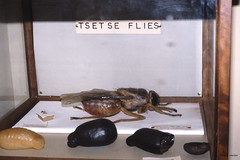Tsetse Fly (model), Kenya Museum, Nairobi 9-80, Kenya (Hart Walter) Tags: tourism coffee cattle rice tea goats sunflower sisal camels sugarcane deforestation desertification tef africanlanduse baobabdestruction
