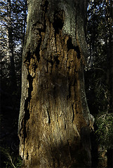 DT_BOIS.086 (photonogrady) Tags: shadow detail tree nature pine forest dead pin mort ombre trunk foret arbre tronc