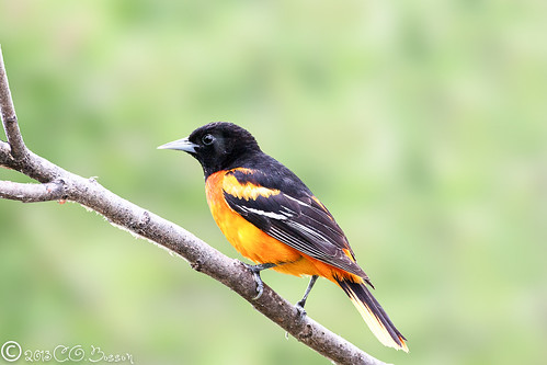 Northern (Baltimore) Oriole