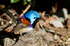Variegated Fairy-wren (Male) (petefeats) Tags: male nature birds australia brisbane queensland passeriformes variegatedfairywren maluruslamberti maluridae oxleycommon