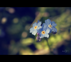 A Bokeh for a Forget-Me-Not (Photofreaks) Tags: bokeh forgetmenot vergissmeinnicht vergismeinnicht adengs wwwphotofreaksws shopphotofreaksws