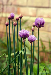 Day # 150. Chives (Harleycy3) Tags: flowers purple heads stems chives stalks
