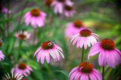 DMT_20130616113137 (Felicia Foto) Tags: flowers usa green nature rural garden insect geotagged botanical flora backyard nikon echinacea nopeople bee handheld coneflower hdr highdynamicrange allrightsreserved d600 photomatix middletennessee 1xp denisetschida