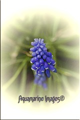 Muscari... (Aquamarine Images) Tags: