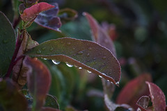 DewDrops On Leaves (rishispieces) Tags: morning red sun green water leaves gardens canon garden fun dewdrops leaf drops bush colorful alone h2o dew hanging around bushes repeat progressive 60d