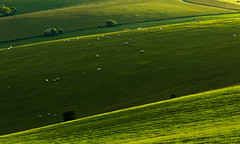 Parallels (GlennDriver) Tags: uk light england grass rural canon way downs sussex evening sheep britain south farming telephoto gb fields agriculture southdowns ditchling