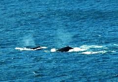 Pod of humpbacks - Megaptera novaeangliae (Marine Explorer) Tags: nature animal dolphins whales array greatnature marineexplorer