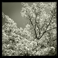 a white soft explosion (troutfactory) Tags: blackandwhite bw monochrome japan digital square spring blossoms   osaka kansai cherrytree  toyonaka    blossomviewing ipod5  hipstamatic