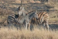 Zebra (Arno Meintjes Wildlife) Tags: africa wallpaper southafrica wildlife safari zebra krugerpark burchells equusburchelli burchellszebra equusquaggaburchellii arnomeintjes